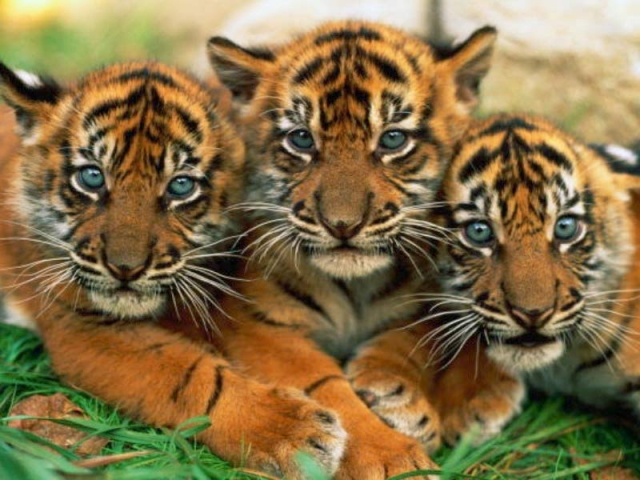 Baby Tiger Backgrounds Page 1