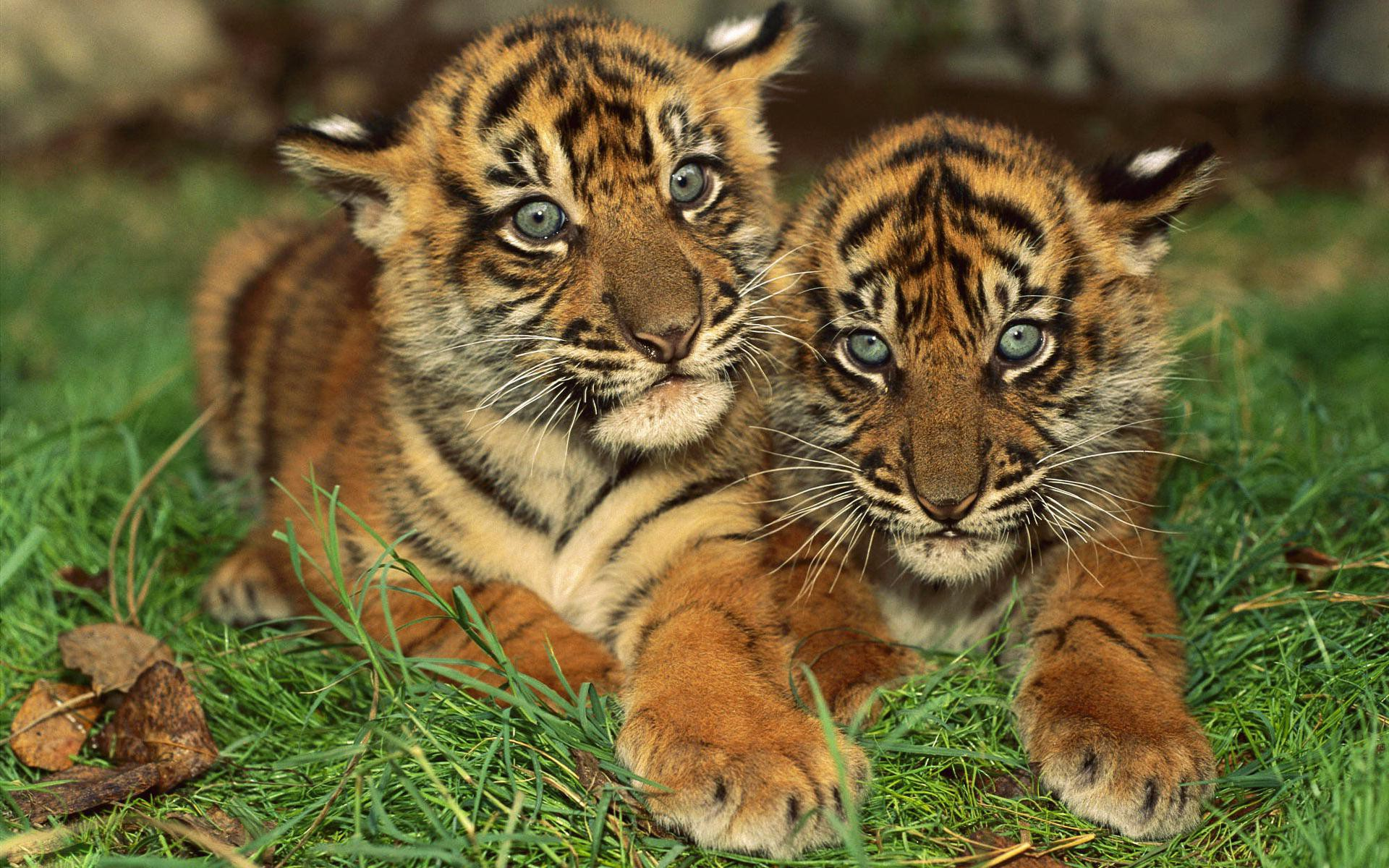 PC, Laptop 44 Baby Tiger Wallpapers in FHD-COB37, SHunVMall Graphics