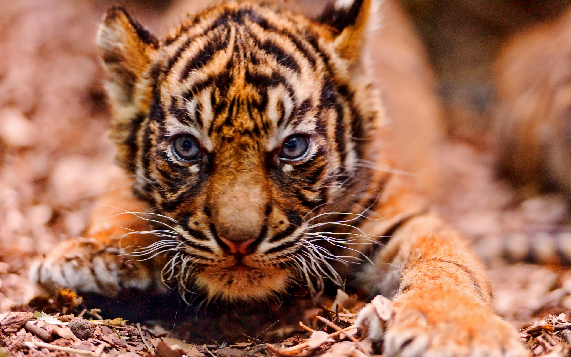 Free Baby Tiger Wallpapers « Long Wallpapers