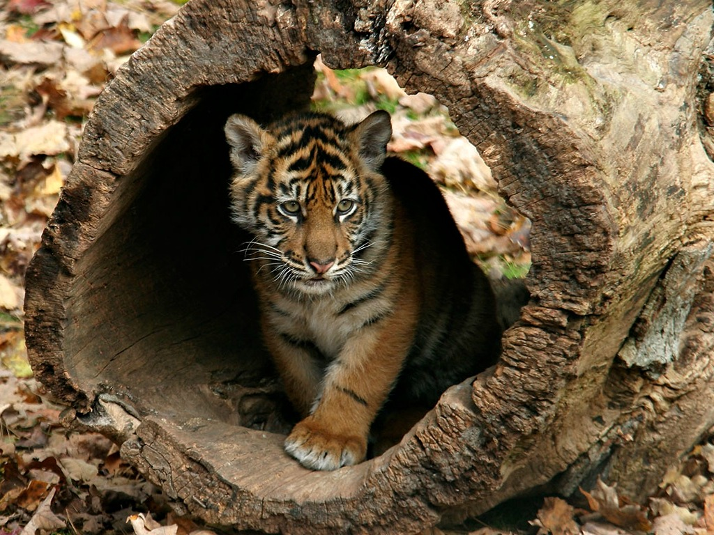 Free Baby Tiger Background « Long Wallpapers