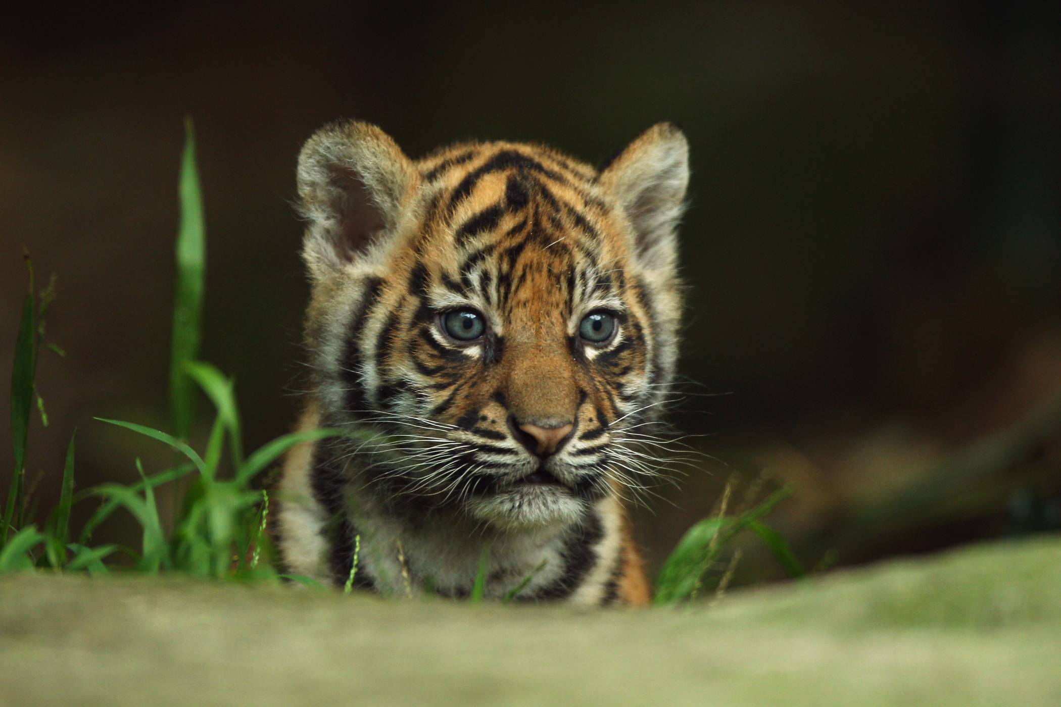 Baby Tiger Background HD Wallpapers 6774 - Amazing Wallpaperz