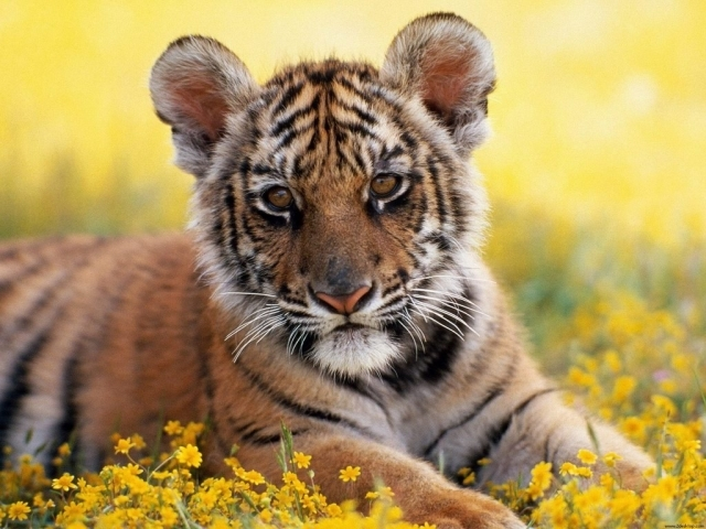Wallpaper's Collection: «Baby Tiger Wallpapers»