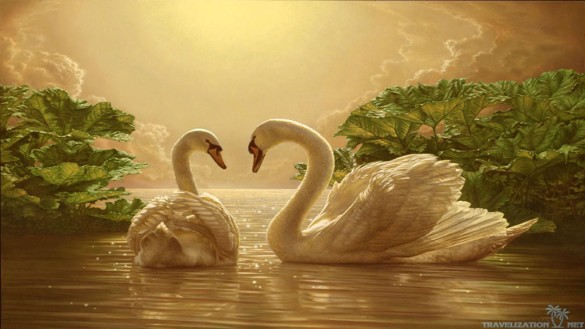 Download Beautiful Love Swan Wallpaper   Full HD Wallpapers