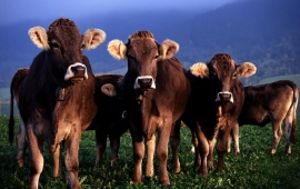 Cow HD Wallpapers, Free Wallpaper Downloads, Cow HD Desktop