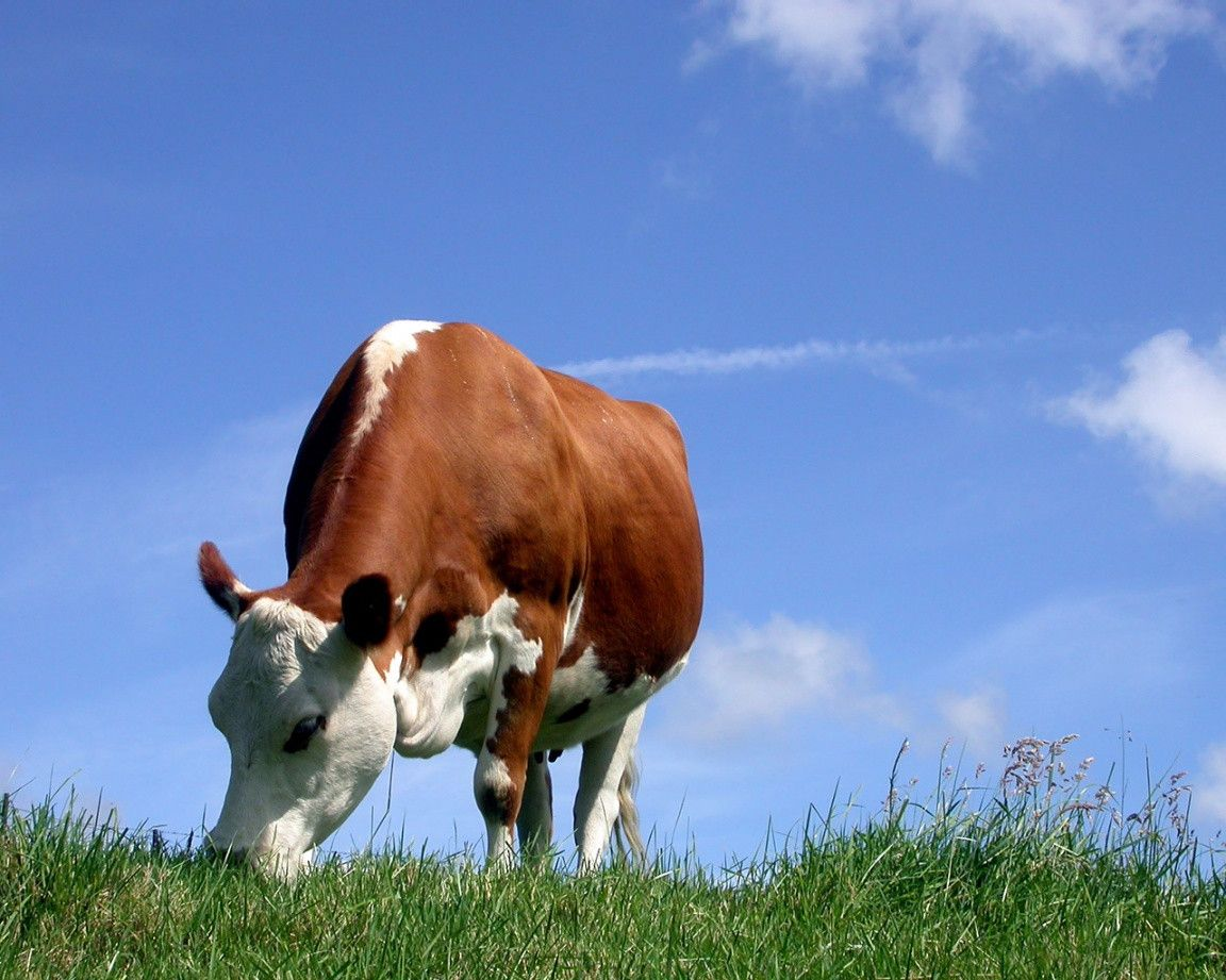 Cute Cow Wallpapers - Wallpaper Cave