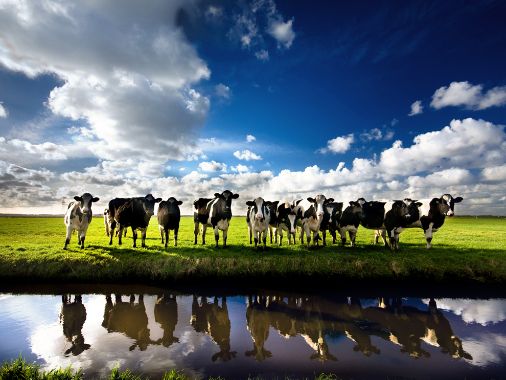 Cows Photo, Nature Wallpaper – National Geographic Photo of the Day