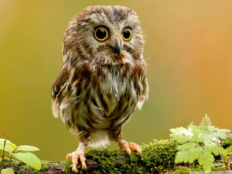 Cute Owl HD desktop wallpaper : Widescreen : High Definition