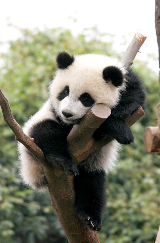 1000+ ideas about Cute Panda on Pinterest | Pandas, Cutest baby