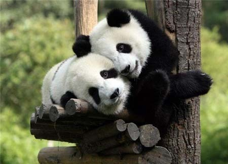 49+ Cute Panda Pictures, HD Quality Cute Panda Images, Cute Panda