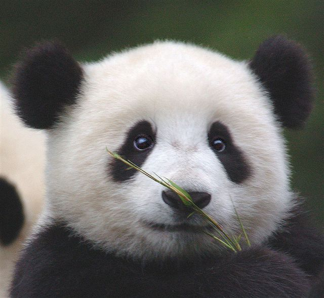17+ ideas about Cute Panda on Pinterest | Adorable baby animals