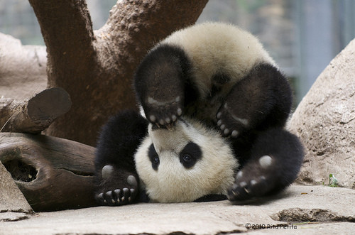 10+ images about Panda Project on Pinterest | Mothers, Zoos and