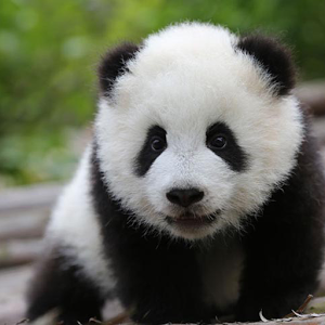 Cute Panda Wallpapers - Android Apps on Google Play