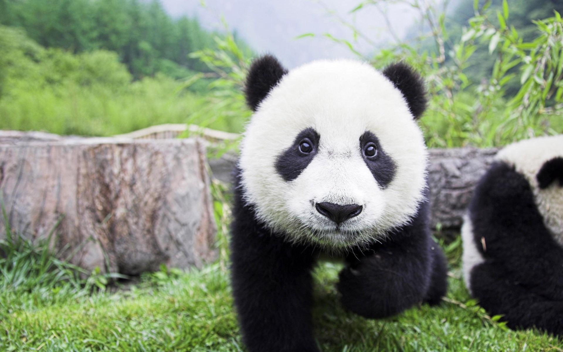 10 Best images about Cute Panda on Pinterest | Giant pandas