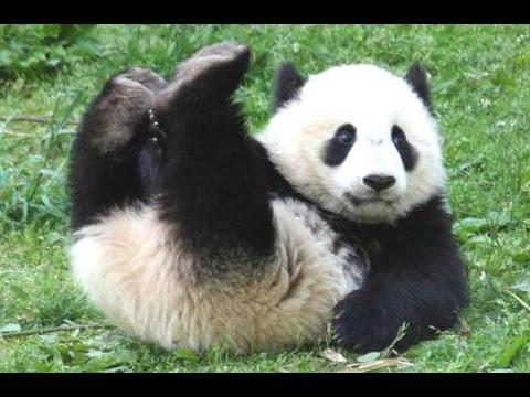 Panda Bear - A Funny Panda And Cute Panda Videos Compilation
