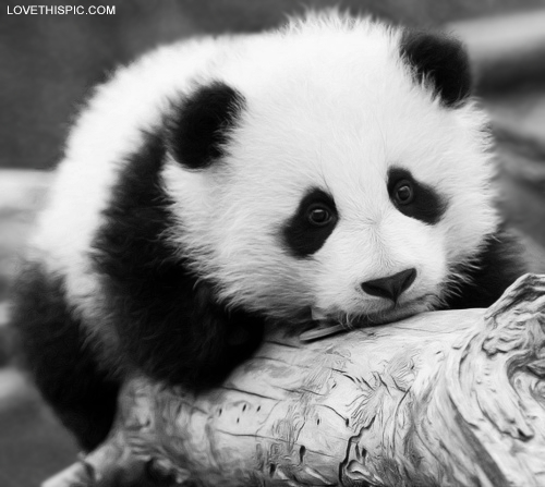 Cute Panda Pictures, Photos, and Images for Facebook, Tumblr