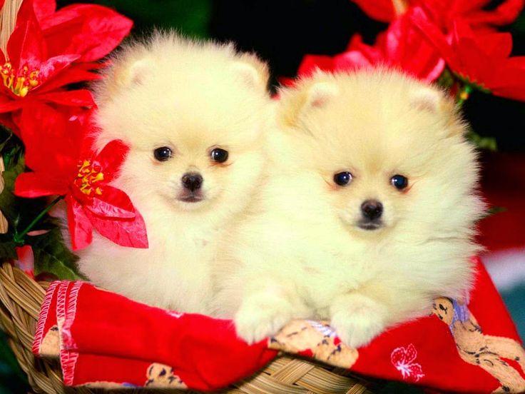 1000+ ideas about Cute Puppy Wallpaper on Pinterest | Very cute