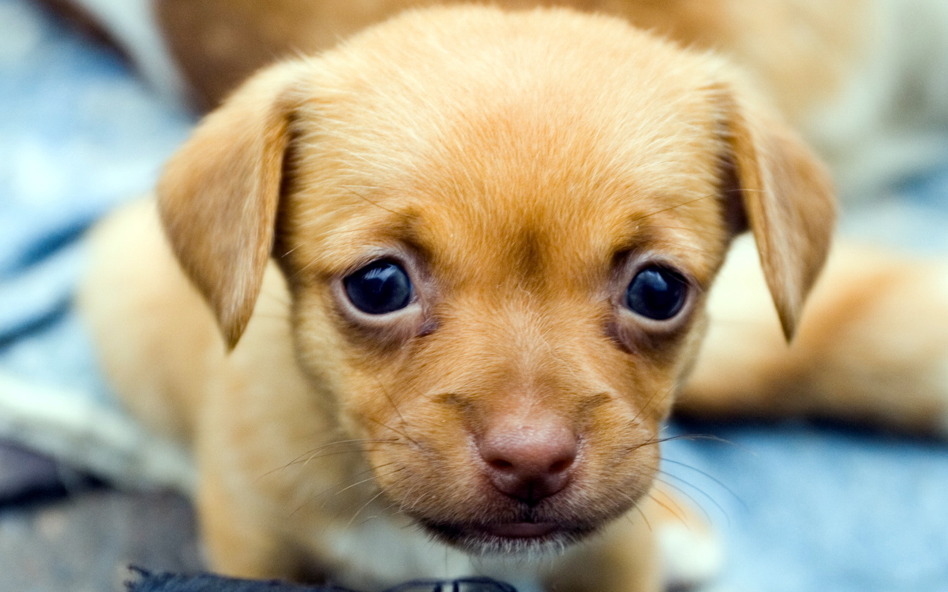 1000+ images about puppy dogs on Pinterest | Chihuahuas, Chubby