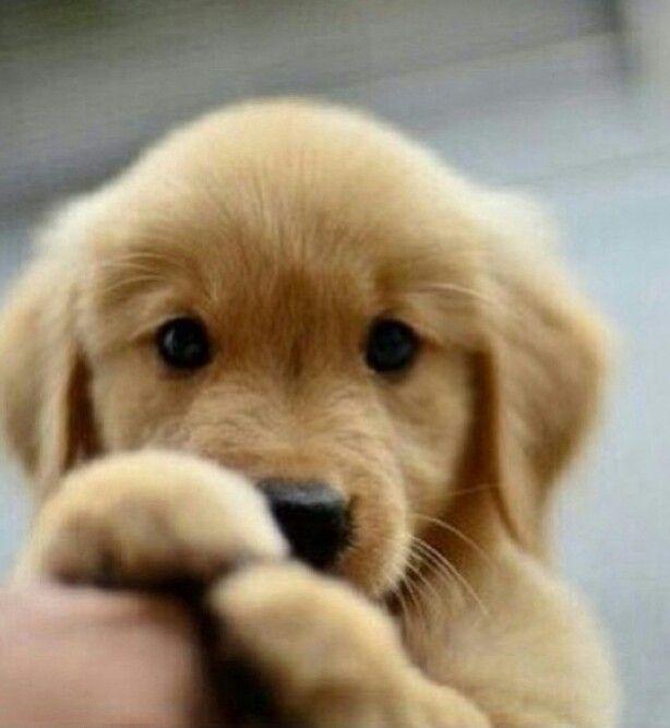 1000+ ideas about Golden Puppy on Pinterest | Golden retriever