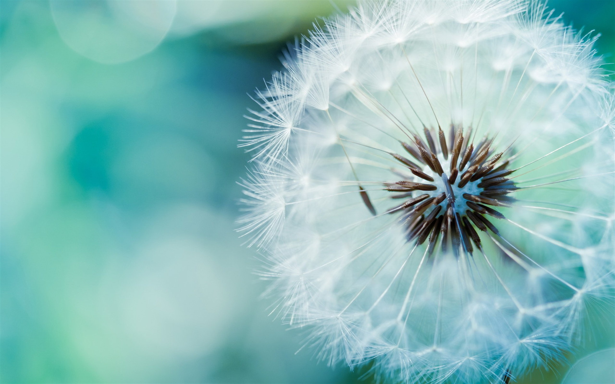 Dandelion Background Wallpapers | Pictures