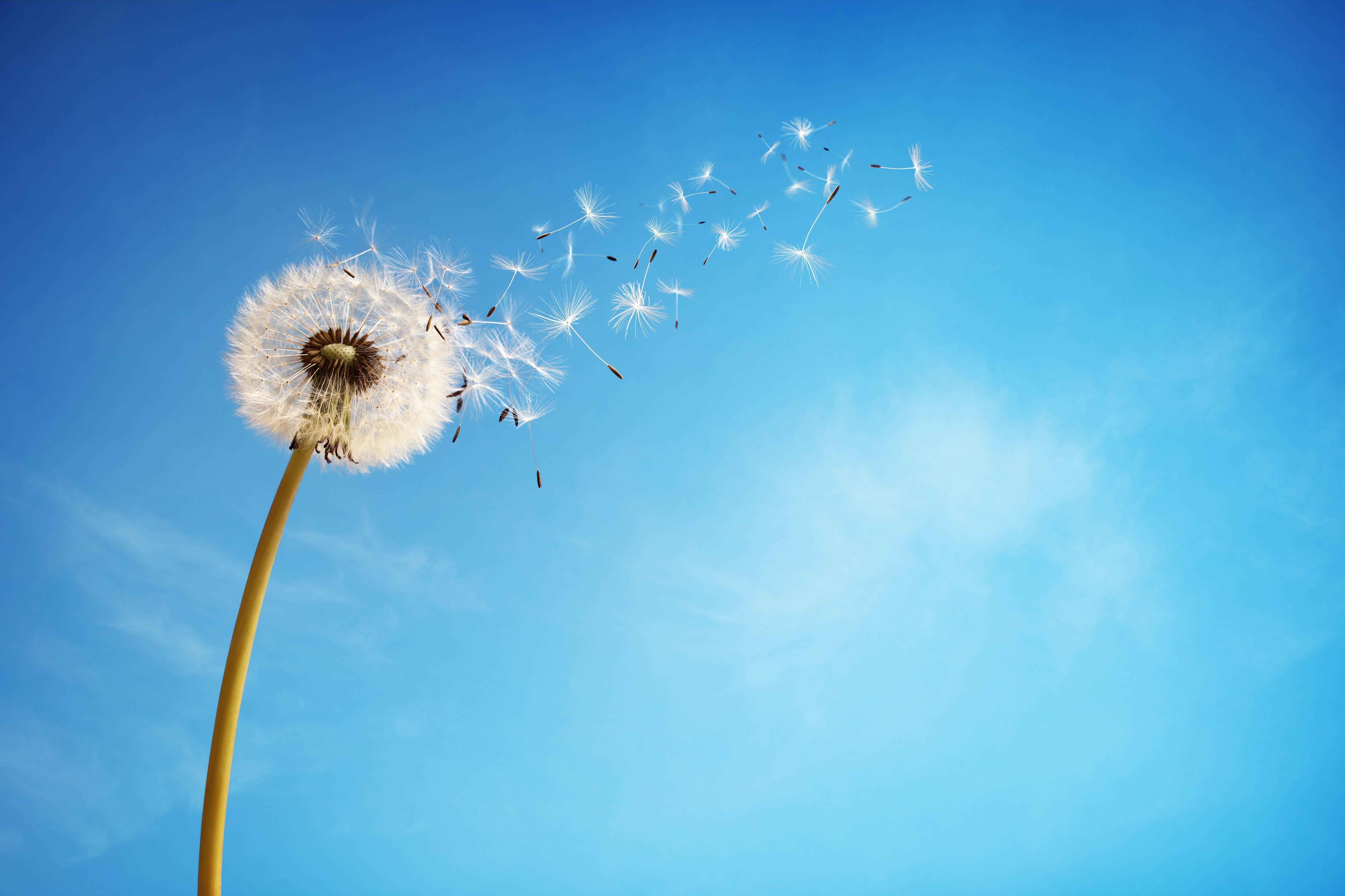 Sky dandelion flower background wallpaper | 5616x3744 | 849232
