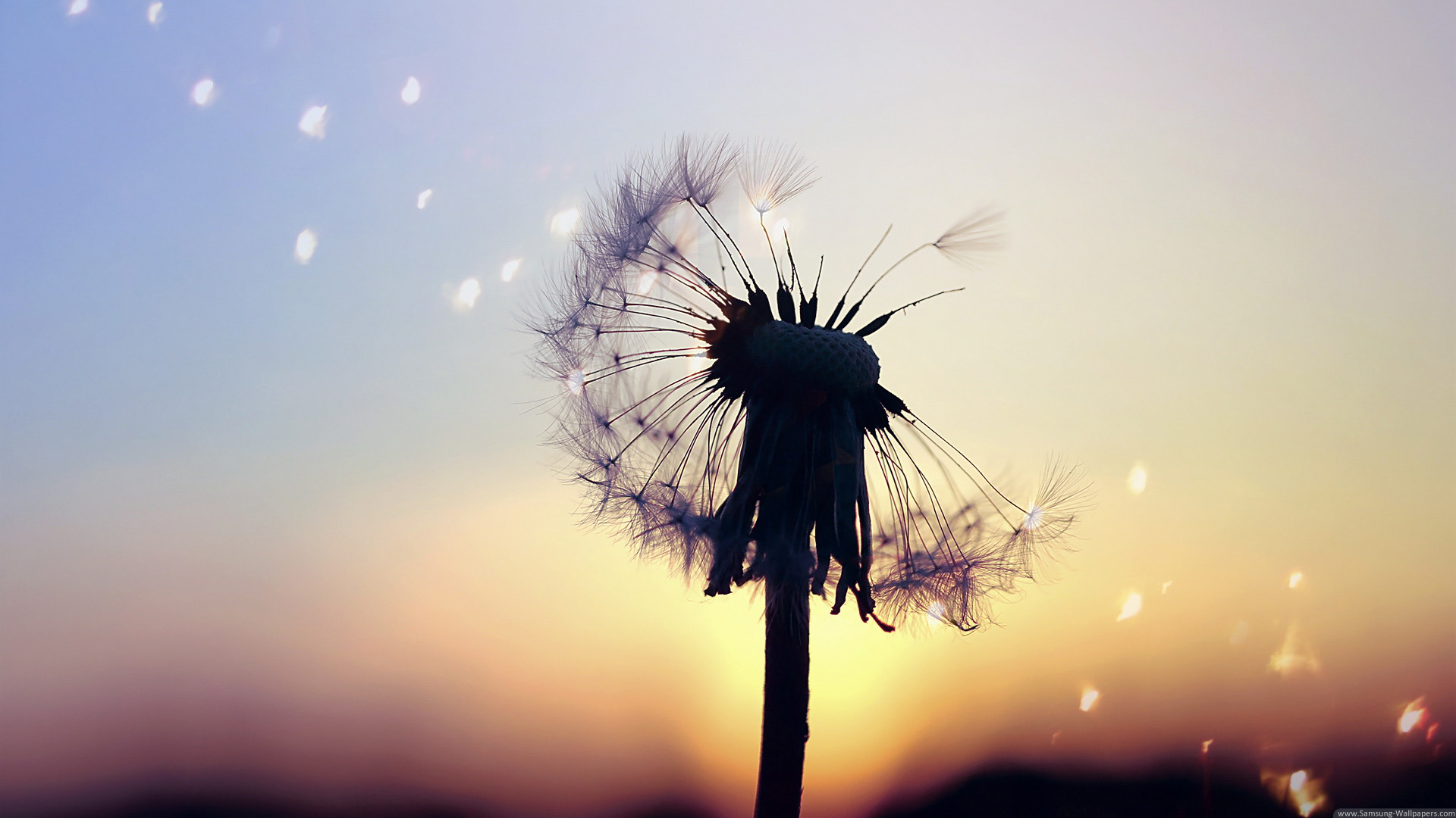 Collection of Dandelion Background on HDWallpapers