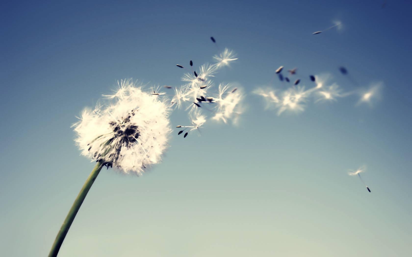 Dandelion Flowers Free HD Background Wallpapers | HD Wallapers for