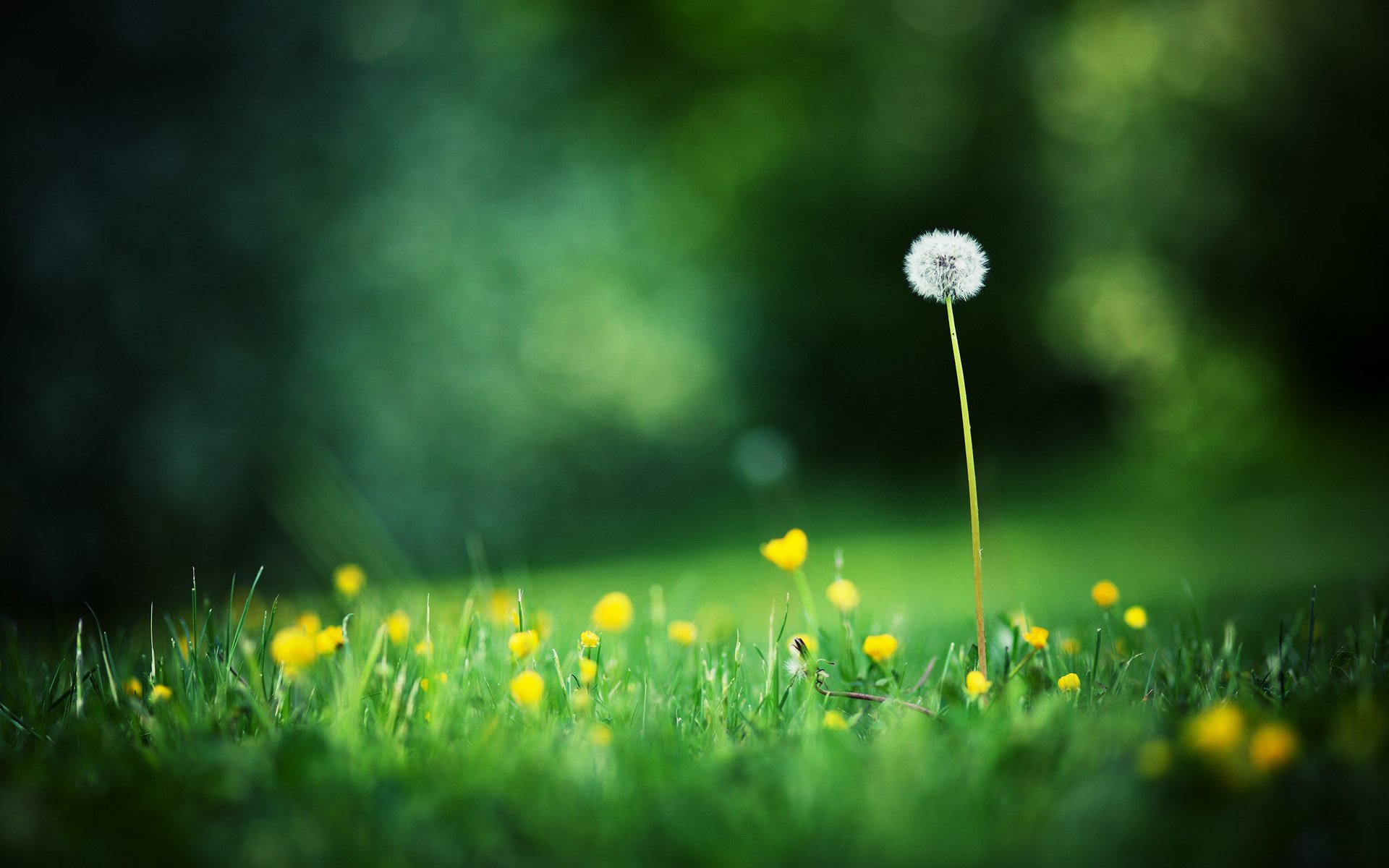 223 Dandelion HD Wallpapers | Backgrounds - Wallpaper Abyss