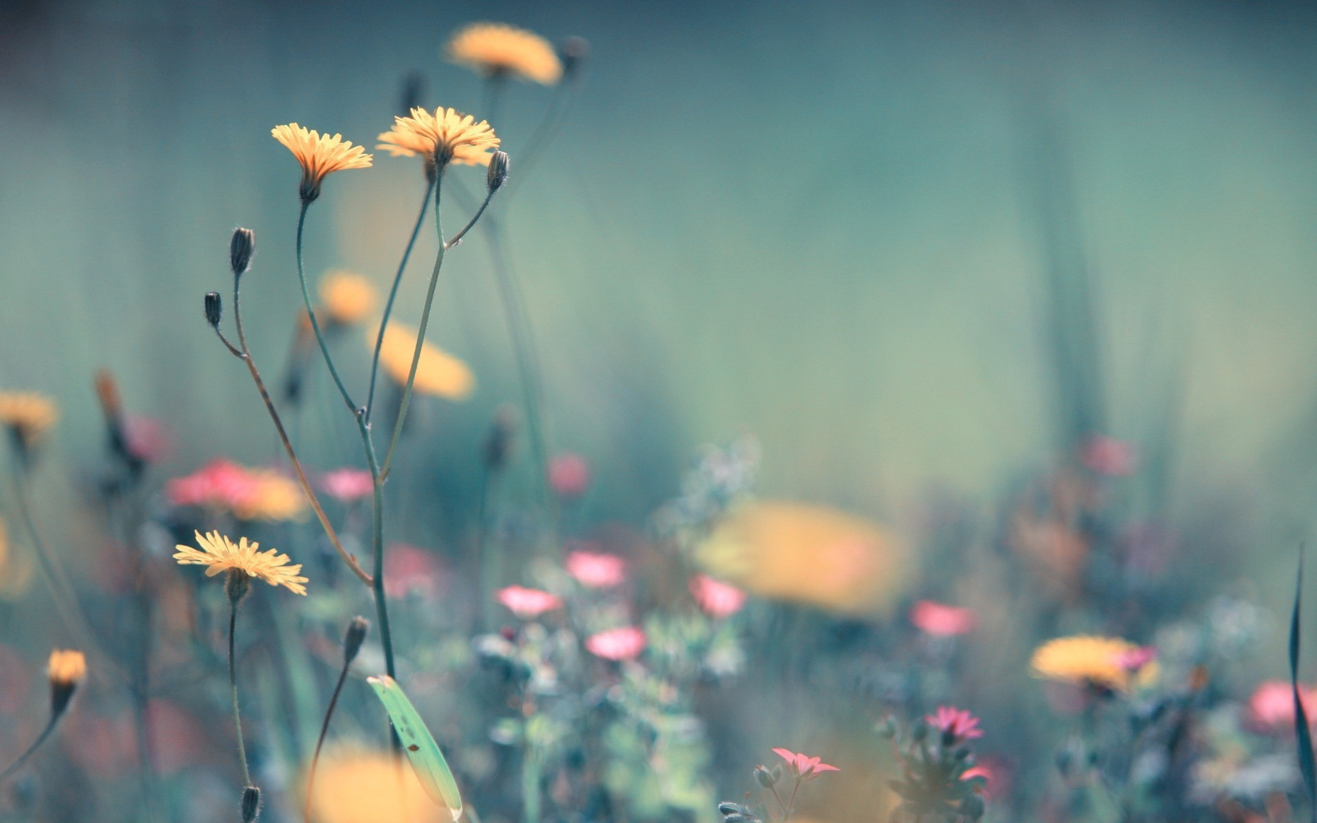 Wallpaper's Collection: «Dandelion Wallpapers»