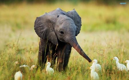 baby elephant and egrets - Elephants & Animals Background