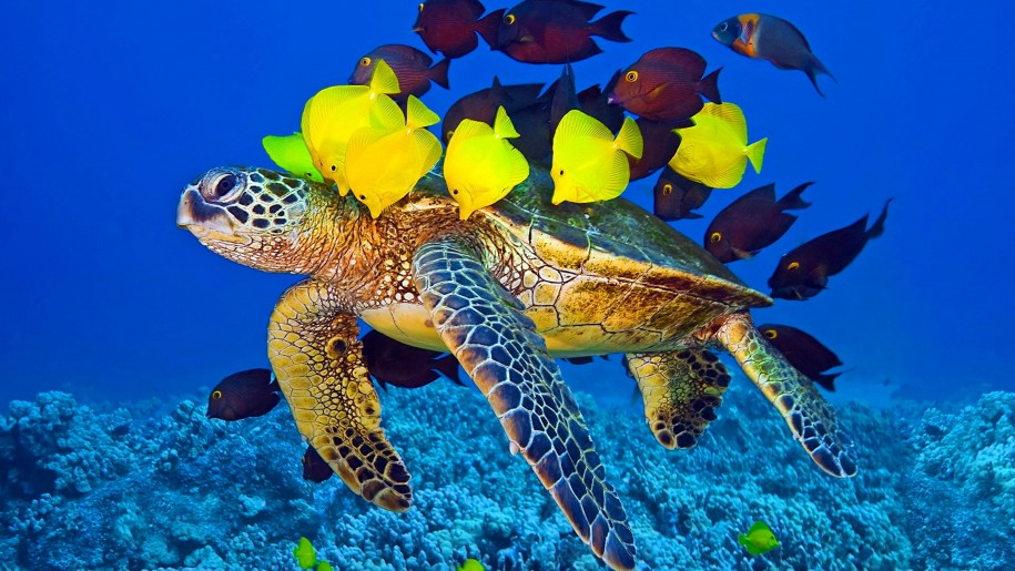 Sea Turtle And Fish Wallpaper Hd For Laptop Mobile Phone