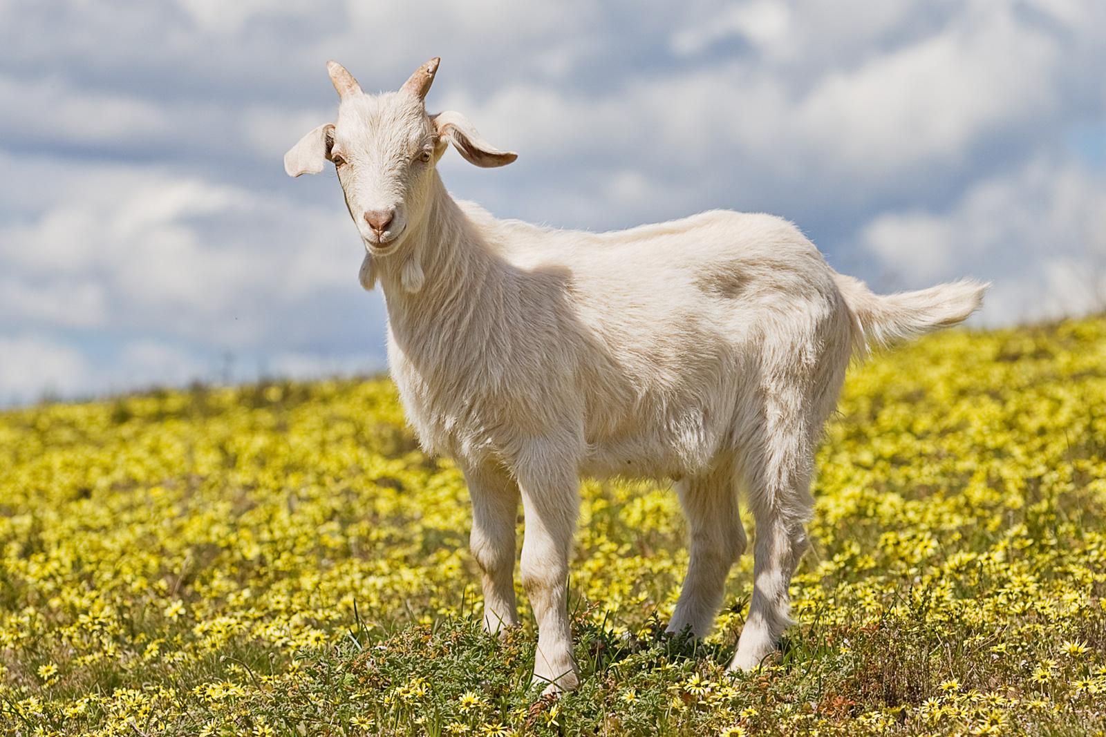 Goat - Wikipedia