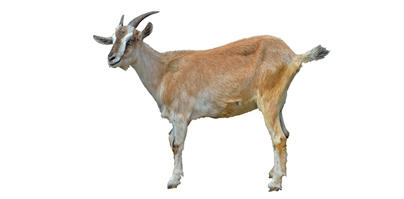 Which Type Of Goat Are You? - ProProfs Quiz