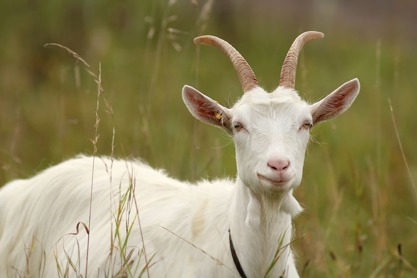 12 things you didn't know about goats   MNN - Mother Nature Network