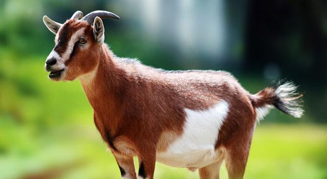 There Will Be Goat - Melanie Hooyenga