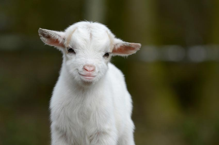 Reasons Why Keeping Goats Will Change Your Life For The Better