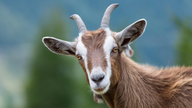 Goat Dream Meaning and Interpretations