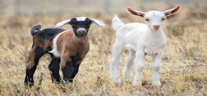 Goats - eXtension