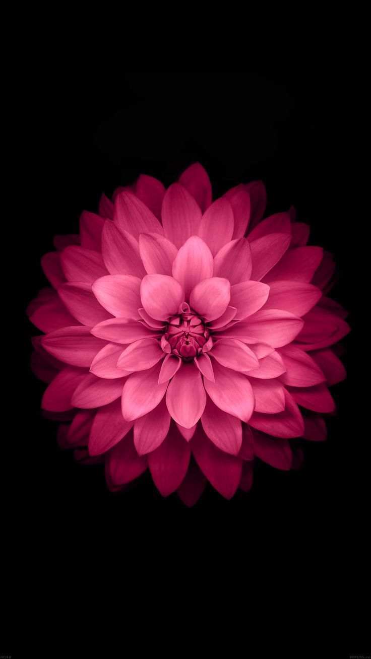 Hot Pink Flower Wallpaper Sf Wallpaper