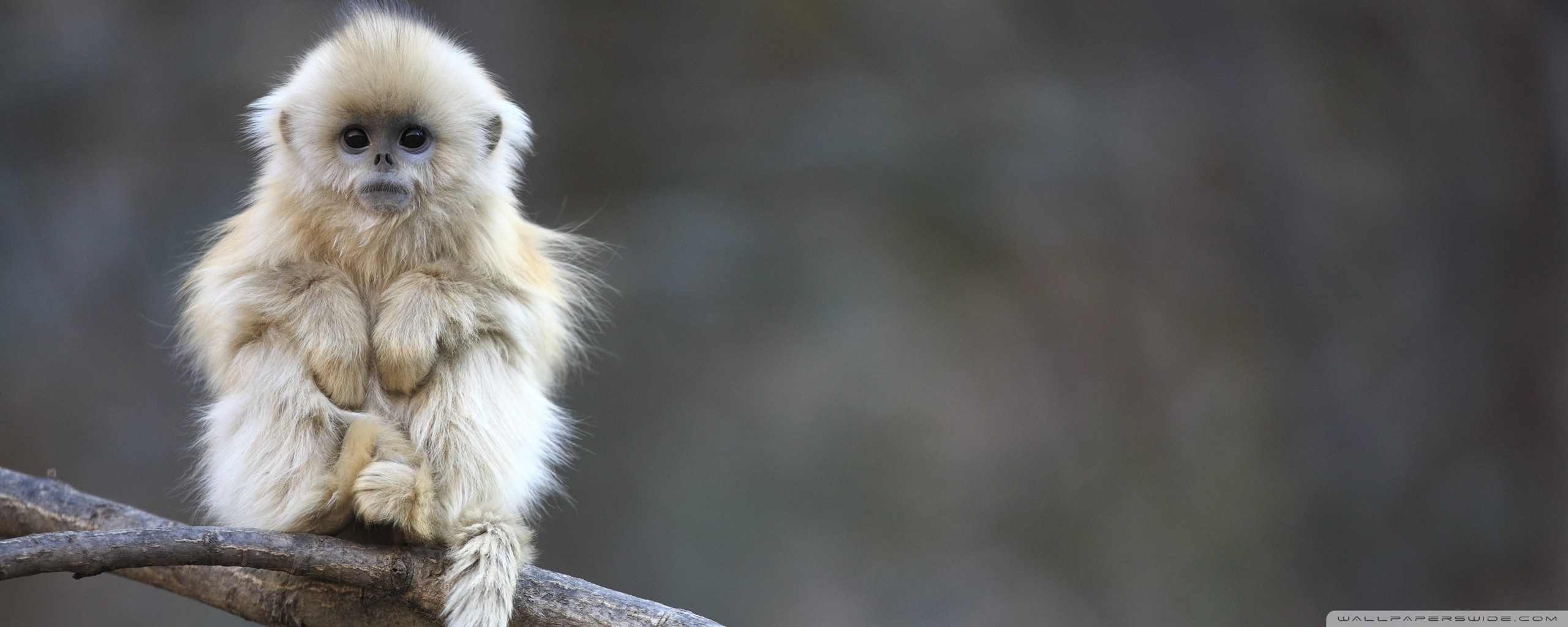 White Monkey HD desktop wallpaper : High Definition : Fullscreen