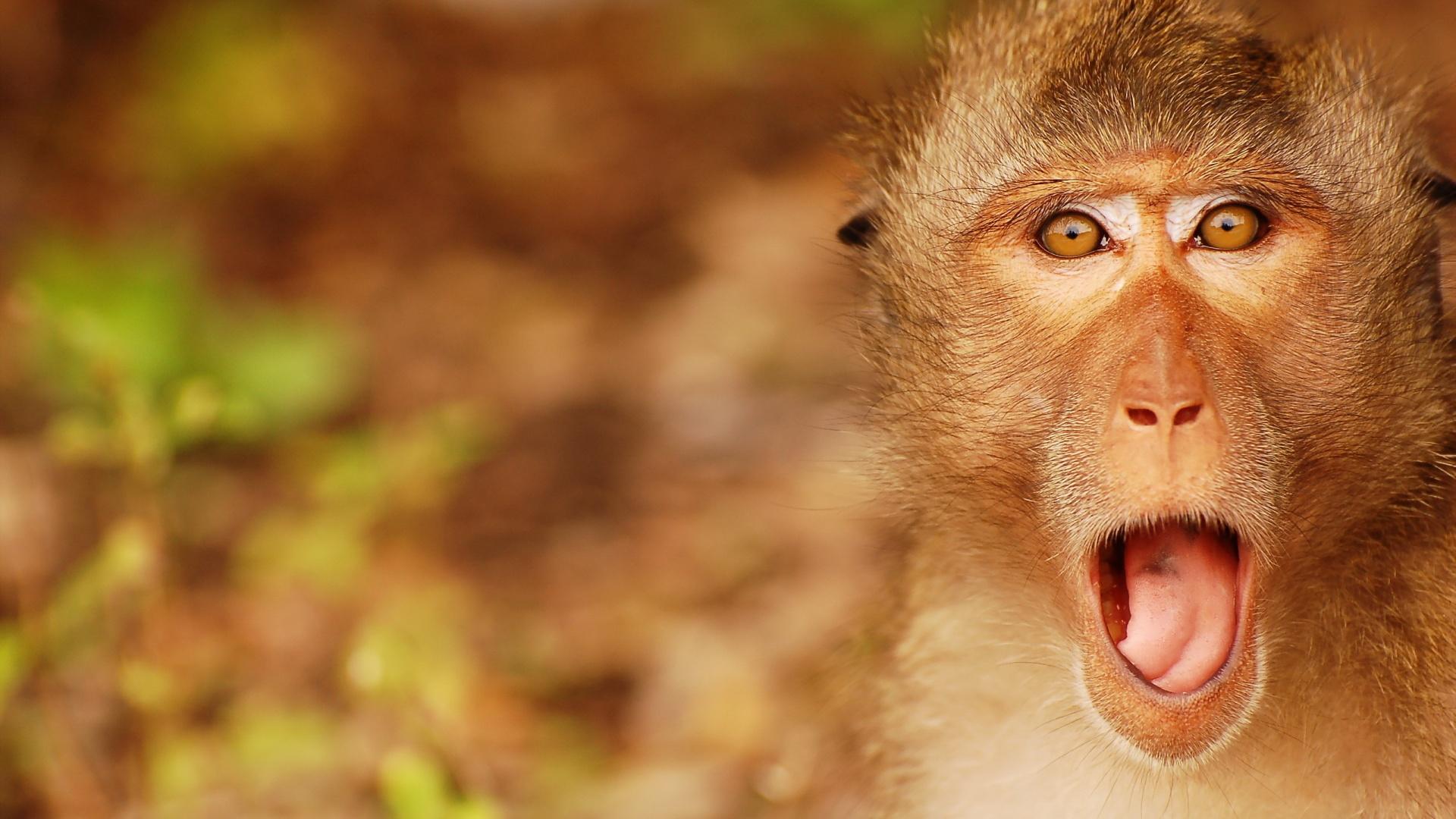 Monkey Wallpaper, Top HD Monkey Pics, #QBP HD