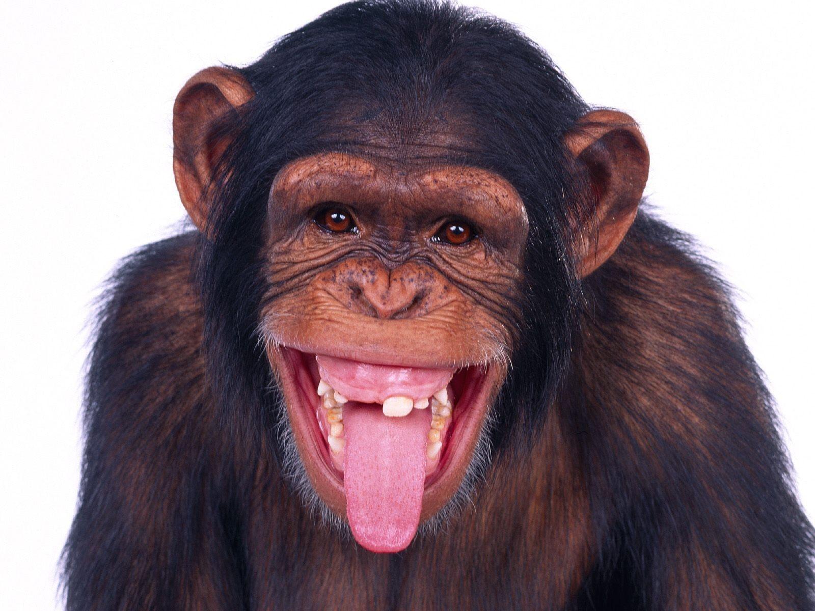 Monkey Wallpapers | Free Download Best Wild Animals HD Desktop Images