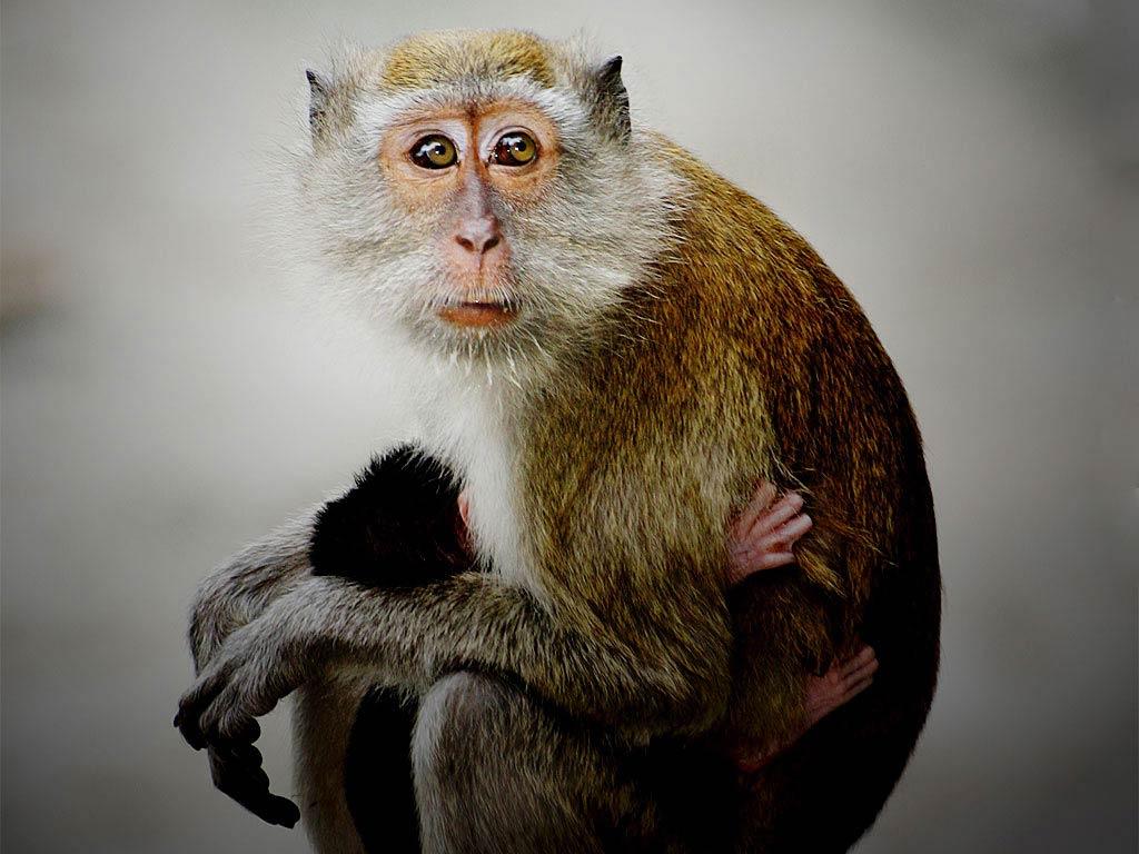 Free Monkey Wallpaper download - Animals Town