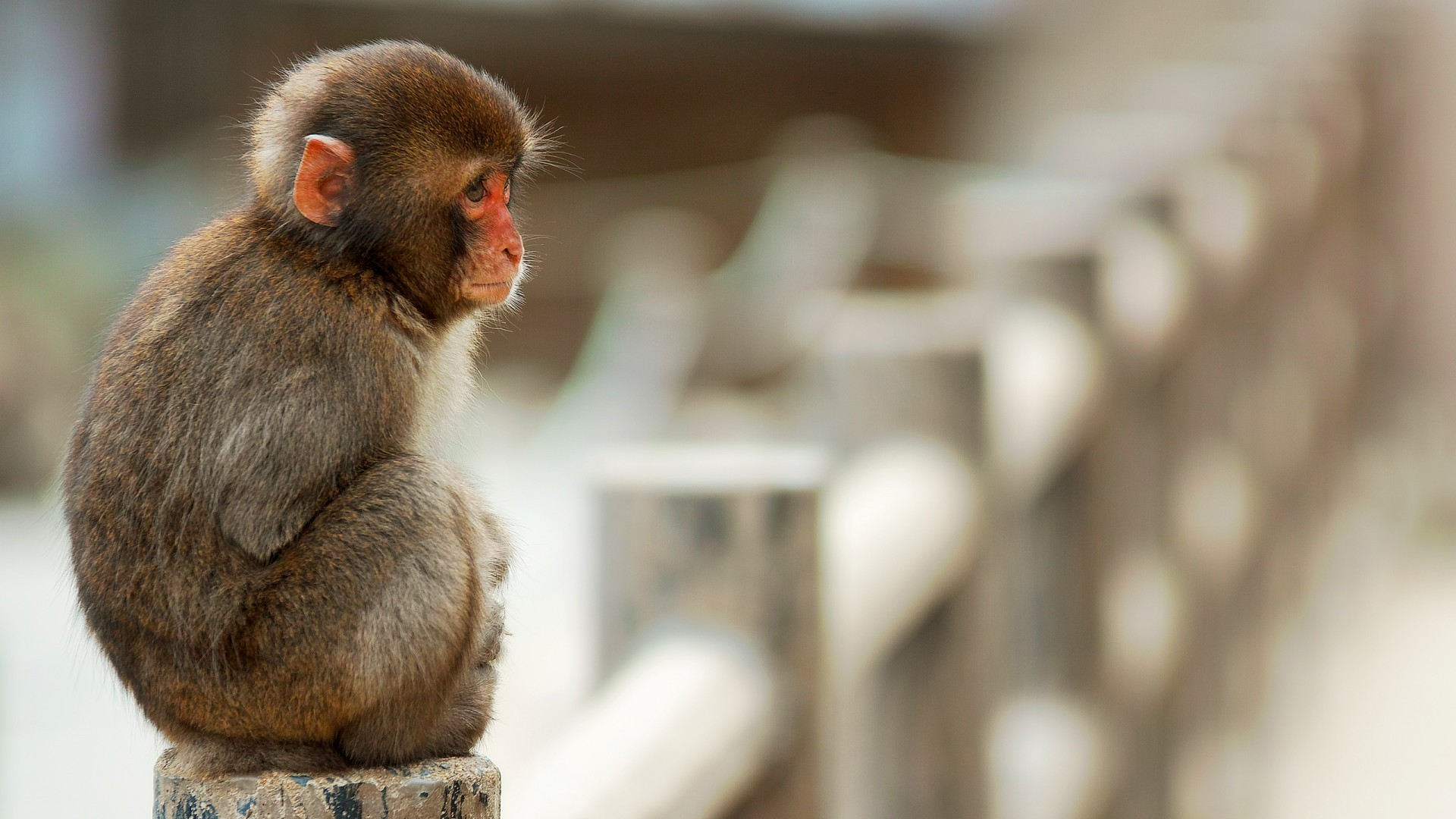 Monkey Wallpapers HD Pictures – One HD Wallpaper Pictures