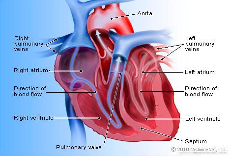 Heart Detail Picture Image on MedicineNet com