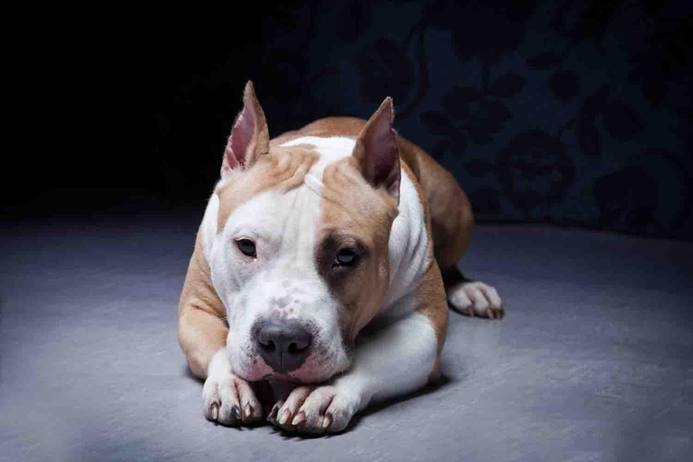 Puppy Pitbull Wallpaper - Android Apps on Google Play