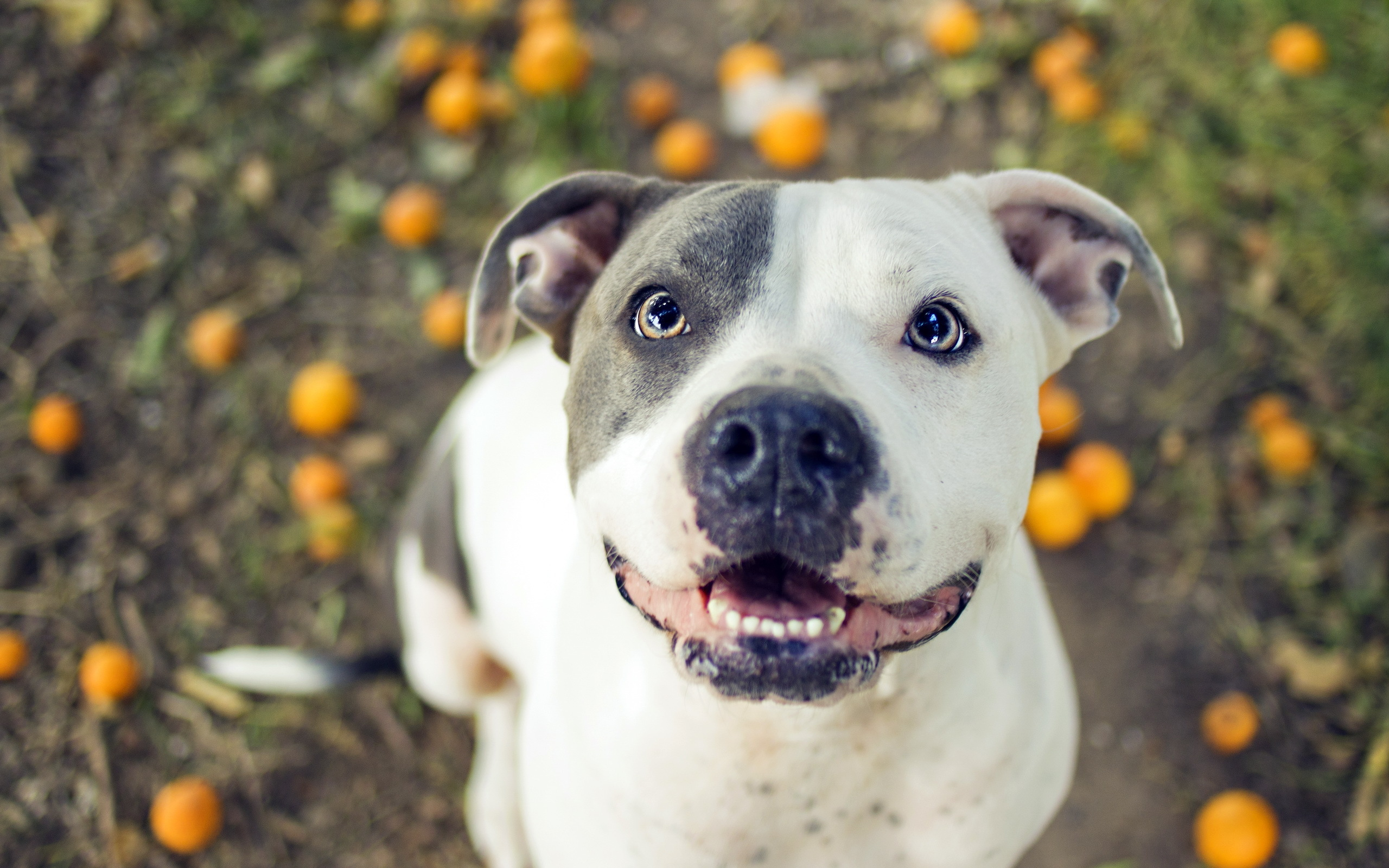 11 Pit Bull HD Wallpapers   Backgrounds - Wallpaper Abyss