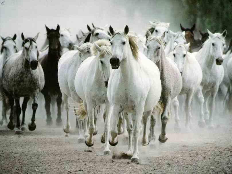 seven white running horses wallpaper   Animals