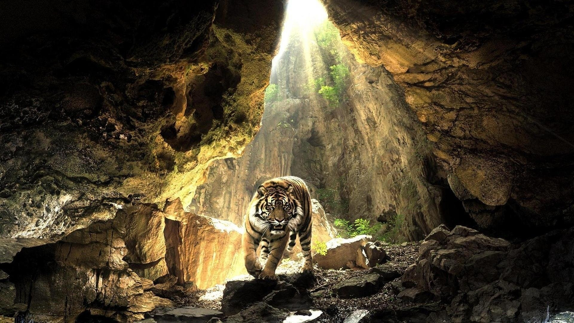 1185 Tiger HD Wallpapers   Backgrounds - Wallpaper Abyss