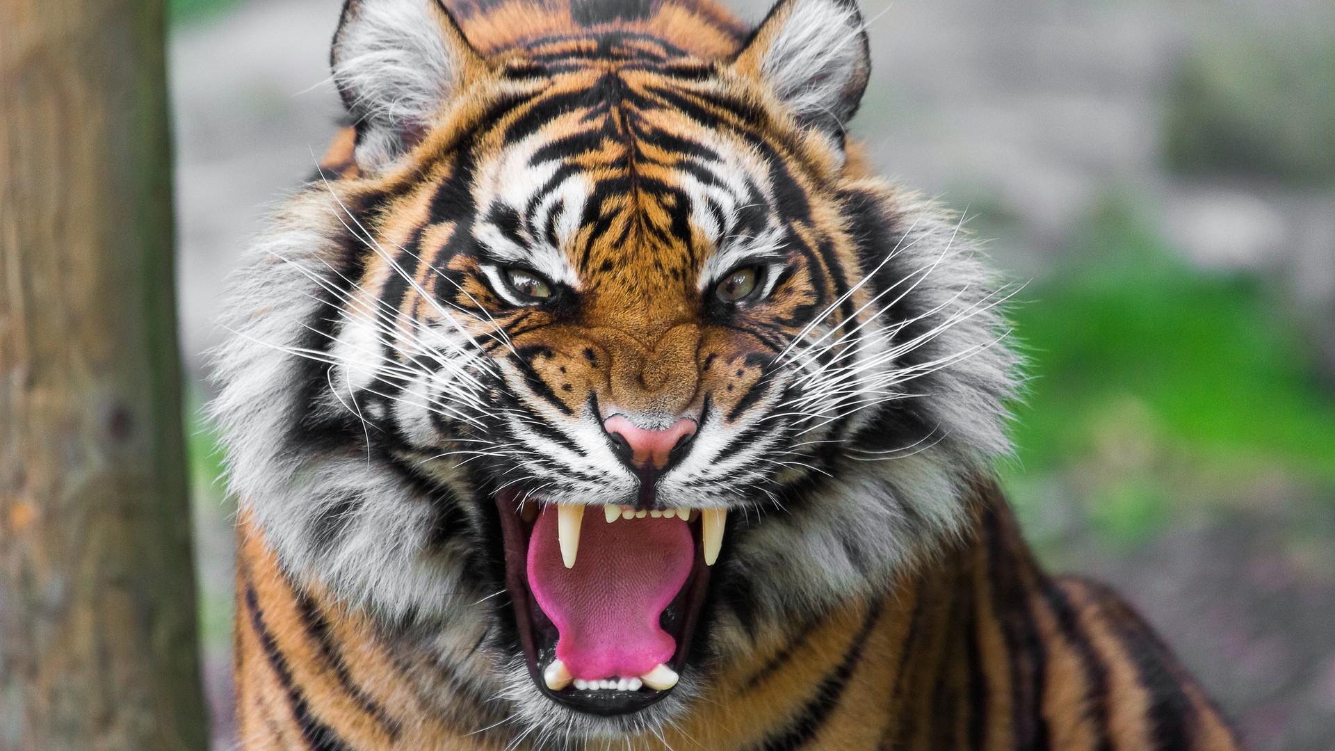 Full HD 1080p Tiger Wallpapers HD, Desktop Backgrounds 1920x1080