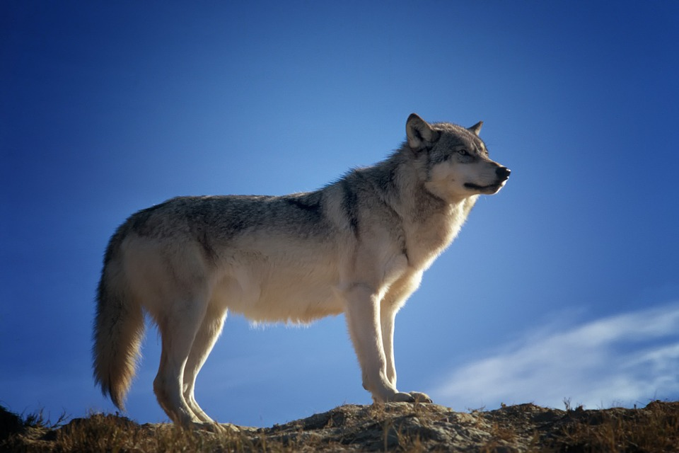 Wolf - Free images on Pixabay